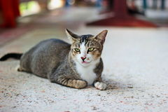 Thai cat. It is animal in Thailand. Show the identity of the country thailand. The long tail feathers body length of about one foot. high 20 cm is fierce love royalty free stock photo