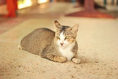 Thai cat. It is animal in Thailand. Show the identity of the country thailand. The long tail feathers body length of about one foot. high 20 cm is fierce love royalty free stock photography