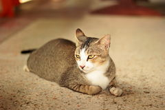 Thai cat. It is animal in Thailand. Show the identity of the country thailand. The long tail feathers body length of about one foot. high 20 cm is fierce love stock photography
