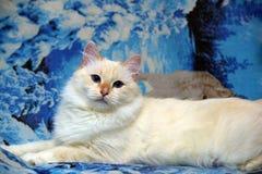 Thai cat Stock Image