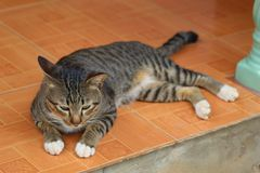 Thai cat. Beautiful Gaze Tiger pattern Thailand lovely cat nice color stock image