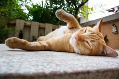 Thai Cat. Beautiful thai cat laying on table portrait stock photos