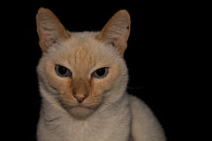 Thai cat. On a black background Stock Photo