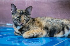 Thai cat. With black and white stripes royalty free stock image