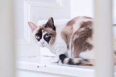Thai cat blue eyed lying on house stairs look at camera.  stock photos