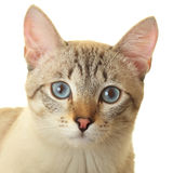 Thai cat with blue eyes. Stock Photo