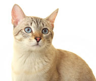 Thai cat with blue eyes. Expressive look Stock Image