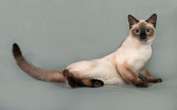 Thai cat with blue eyes lying on gray Royalty Free Stock Photography