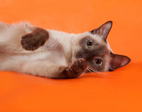 Thai cat with blue eyes lying on orange Royalty Free Stock Photography
