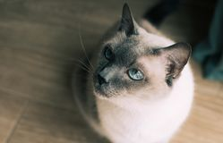 Thai cat with blue eyes. Serious mother of thai cat with blue eyes royalty free stock photos