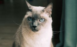 Thai cat with blue eyes. royalty free stock image