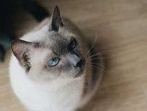 Thai cat with blue eyes. royalty free stock photo