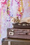 Thai cat with blue eyes sits inside vintage suitcases pyramid. Thai white with red marks cat with blue eyes sits inside vintage suitcases on a pink background Stock Images