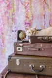 Thai cat with blue eyes sits inside vintage suitcases Stock Photography