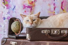 Thai cat with blue eyes sits inside vintage suitcases Royalty Free Stock Images