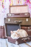 Thai cat with blue eyes sits near vintage suitcases pyramid clos. Thai white with red marks cat with blue eyes sits inside vintage suitcases on a pink background Royalty Free Stock Images
