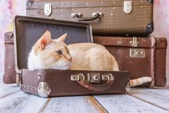 Thai cat with blue eyes sits near vintage suitcases pyramid clos. Thai white with red marks cat with blue eyes sits inside vintage suitcases on a pink background Royalty Free Stock Photo