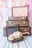 Thai cat with blue eyes sits near vintage suitcases pyramid clos Stock Image