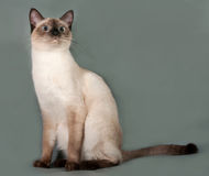 Thai cat with blue eyes sitting on gray Stock Photos
