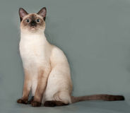 Thai cat with blue eyes sitting on gray Royalty Free Stock Images