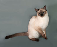 Thai cat with blue eyes sitting on gray Royalty Free Stock Photo