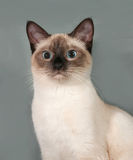 Thai cat with blue eyes sitting on gray Royalty Free Stock Image