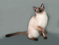 Thai cat with blue eyes sitting on gray Stock Image