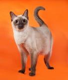 Thai cat with blue eyes standing on orange Stock Image