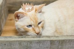 Thai cat with blue eyes wearing crown sits in wooden box. Thai white with red marks cat with blue eyes wearing golden crown on his head sits in wooden box close Stock Image