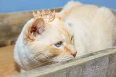 Thai cat with blue eyes wearing crown sits in wooden box. Thai white with red marks cat with blue eyes wearing golden crown on his head sits in wooden box close Royalty Free Stock Photography