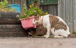 Thai Cat Breeds stock photos