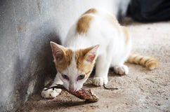 Thai cat catching and eat fresh Climbing gourami fish Stock Image