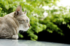 Thai cat. Close up of thai cat royalty free stock photography