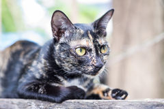 Thai Cat. Close up thai black cat serious looking cautious Royalty Free Stock Images