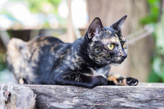 Thai Cat. Close up thai black cat serious looking cautious on old wood Stock Image