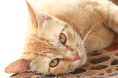 Thai cat. Cute of brown thai cat Royalty Free Stock Photography