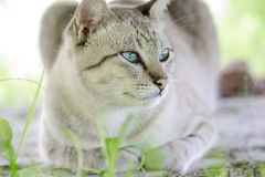 Thai cat Royalty Free Stock Photos