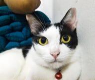 Thai Cat Royalty Free Stock Photos