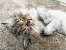 Thai cat on the floor Stock Photos