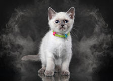 Thai cat in fog on black background Royalty Free Stock Photos