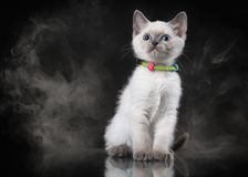 Thai cat in fog on black background Royalty Free Stock Photo