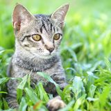 Thai Cat. In the garden royalty free stock image