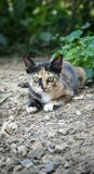 Thai cat. This is Thai cat in the garden. Yellow eyes stock image