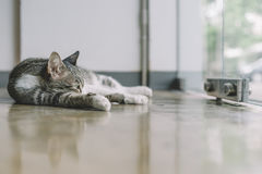 A Thai cat with gray and white color Royalty Free Stock Images
