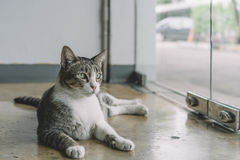 A Thai cat with gray and white color Stock Image