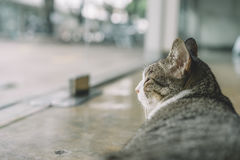 A Thai cat with gray and white color Royalty Free Stock Photo