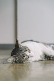 A Thai cat with gray and white color Stock Images