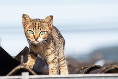 Thai cat with green eyes walking on the roof Royalty Free Stock Photo