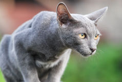 Thai cat with grey hair. Thai cat stare with eyes determinedly Royalty Free Stock Photos