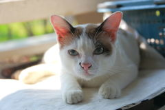 Thai cat. The image of Thai specie male cat royalty free stock photo